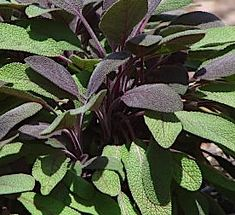 Information, pictures, and remedies that can be found in the common sage plant, one if the most popular herbs Sage Plant, Plant Leaves, Healing Plants, Growing Greens, Planting Herbs, Plants, Permaculture Gardening, Edible Garden, Vegetable Garden