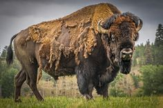 American Bison.Looking at this guy makes me want to get a good brush and brush all that dead hair off him! LOL I just bet he would stand there and allow me to do that. LOL