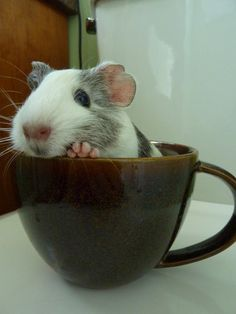 a cup of guinea pig