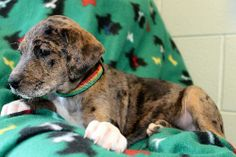 Ava is a 9-week-old female Catahoula/Black Lab mix. Her coat is brown with black coloring to it in a merle pattern which is common with Catahoulas. She also has white paws and some white on her chest. Ava is just a gorgeous girl! She is lively,...