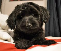 Colby the Labradoodle-I am falling for this darling little face!