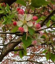 summer is acumen in... apple blossom english late spring