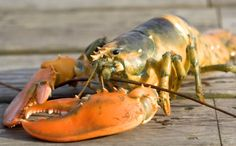 Climate Change Has Created a Lobster Eat Lobster World.  IT'S POLLUTION. INDUSTRIAL POLLUTION. IT'S KILLING EVERYTHING INCLUDING WHAT THEY ARE SUPPOSED TO EAT. WILL IT HAPPEN TO US TOO?  http://www.care2.com/causes/climate-change-has-created-a-lobster-eat-lobster-world.html