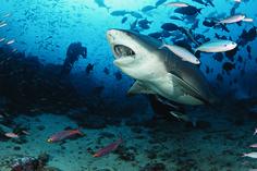 diving with bull sharks, lemons, silvertips, gray reefs, Beqa Adventure Divers, Fiji
