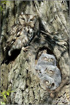 Camouflaged Eastern Screech Owls
