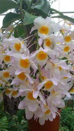 Dendrobium Orchids, Garden Deco, Orchid Plants, White Orchids, Color Of Life, Bonsai, Planting Flowers, Beautiful Flowers, Garden Design