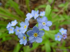 Luhtalemmikki | Myosotis scorpioides | Water forget-me-not/true forget-me-not/scorpion grass