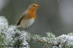 <p>Rotkehlchen 01 </p>    <p>Rotkehlchen_Erithacus rubecula_European Robin_2012_02_29_79_ 01_00_054</p>