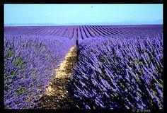 Los campos de lavanda de domleg interminable, Valensole, Alpes-de-Haute-Provence