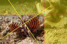 Cette photo d'un ptérois nain juvénile (Dendrochirus brachypterus) toutes nageoires déployées a été prise lors d'une plongée de nuit l'animal ne mesure que quelques centimètres. On aperçoit son œil Bleu/vert.  Côté composition le sujet est placé sur l'une des lignes verticales, son mouvement est dans la diagonale de l'image tandis qu'une autre diagonale est formée ente ses nageoires déployées et l'algue en arrière-plan.le tiers droit et le tiers haut, sont laissés libres.