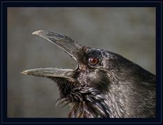 Raven | Flickr - Photo Sharing!