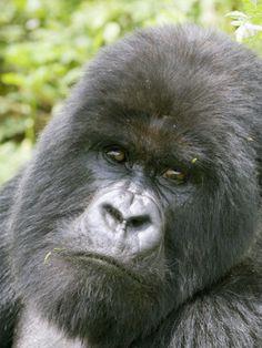 all pictures gorillas | Mountain Gorilla, Male Silverback Portrait, Rwanda Fotoprint