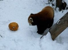 Red panda goes full derp over a pumpkin.
