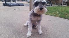Lost Dog - Schnauzer Miniature - Cicero, IL, United States 60804