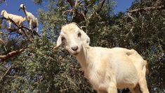 Goats really do grow on trees! Filmed in Morocco © Michael Chinnici http://www.PhotoWorkshopAdventures.com THE WORLD'S MOST CREATIVE AND INSPIRING PHOTO ADVE...