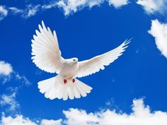 Beautiful White Dove And a Clear Blue Sky