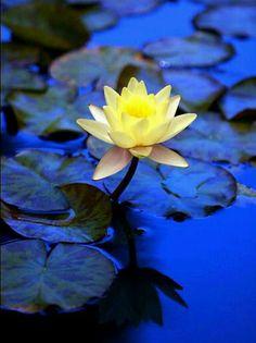Ideas For Yoga Photography Lotus Water Lilies Mellow Yellow, Blue Yellow, Nymphaea Lotus, Orquideas Cymbidium, Water Garden, Garden Pond, Fruit Garden, Pretty Flowers, Mother Nature