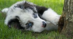 Angus the Australian Shepherd Mix -- Puppy Breed: Australian Shepherd / Border Collie -- Beautiful Blue Eyes!