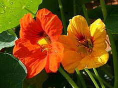 If you are looking for a plant that will spread like wildfire, produce decorative foliage, have an ocean of brightly-colored blossoms, and be edible and tasty, there is the one you need for your garden: Nasturtiums Tropaeolum.