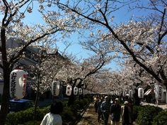 Sakura, Kamakura, Japan