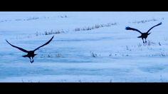 Ribs & Ravens Along The Dawson Trail in Manitoba Ravens, Ribs, Trail, Outdoors, Nature, Animals, Crows, Naturaleza, Animales