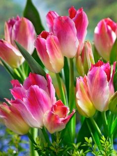 JO: Tulip Tender Whisper..   Bouquet-style = at least 4 blooms/stem; 8 bulbs/bag=$8 GORGEOUS BARGAIN with LOVELY & UNIQUE coloring <3