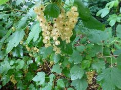 Currants are another care-free fruit for the home gardener. They are even attractive enough to be used as an ornamental plant in the front yard and will provide bountiful harvests of berries that are great for making jellies, juices, and other treats.