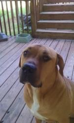 Mastiff Lab Mix... Great dog for a boy to grow up with!  Much better than Miniature Dachshunds!