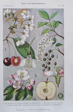 1000 bilder zu botanik blumen pflanzen auf pinterest botanische abbildungen antiquit ten und. Black Bedroom Furniture Sets. Home Design Ideas
