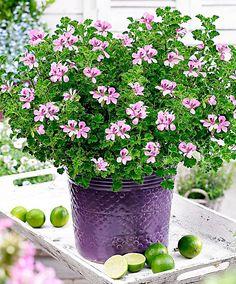 Scented Geranium 'Queen of Lemon' - Young Plants | Plants from Bakker Spalding Garden Company