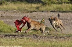 Spotted Hyena running with Wildebeest placenta IMG_6490 | Flickr - Photo Sharing!