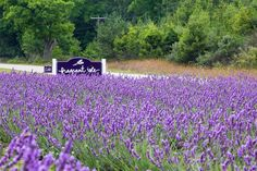 More vibrant lavender at Fragrant Isle Lavender farm.