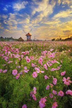 Cosmos field - Cosmos Flower field  At Maetang, Chiang Mai  Thailand