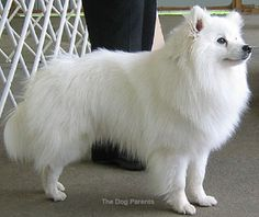 The American Eskimo Dog was bred in the United States in the as a companion pet. It comes in three sizes ranging from 9 to 19 inches in height. Despite its name, the Alaskan Eskimo Dog descends from Germany, it also has a tendency to bark. Spitz Dog Breeds, Spitz Dogs, Love My Dog, American Eskimo Dog, Canadian Eskimo, Cute Puppies, Cute Dogs, Japanese Spitz, Funny Dog Pictures