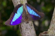 Purple King Shoemaker (Prepona omphale), El Salvador. Florida Museum of Natural History Lepidoptera Image Gallery, Alan Chin-Lee, photographer.