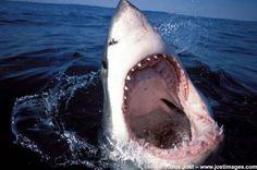 gran tiburón blanco con la boca abierta