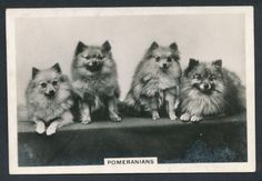 Pomeranians from series Dogs by Senior Service Cigarettes card #46