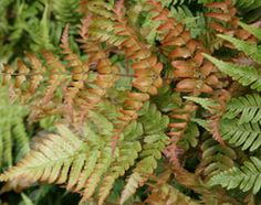 Dryopteris erythrosora 'buckler fern'  Position: partial shade  Soil: moist, humus-rich soil  Rate of growth: slow-growing  Hardiness: fully hardy    This striking deciduous fern has triangular-shaped fronds One of our recommended plants, it needs plenty of moisture.