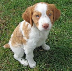 Brittany Spaniel puppy  , I also wanted to say I have already lost 24 pounds from a new natural product and want others to benefit aswell. http://weightpage222.com
