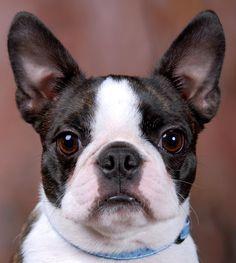 Boston Terrier,  looks like Gracie's littermate.