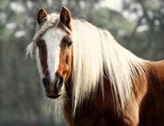 horses with great hair-horses with great hair -Halfingers - A small horse breed that hails from Austria and is barely bigger than a pony.
