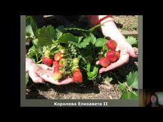 ▶ Клубника по-природному - YouTube | Выращивание земляники | Постила