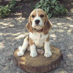 """Little puppy sawyer! He was and still is a little bundle of joy!"