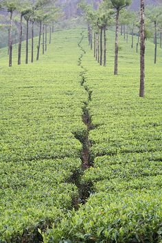 Tea Plantation, Munnar, Kerala, India. The British developed the tea industry in India to out-compete China. China had been trading tea to India for over 1,000 years.