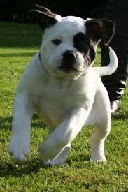 Amerikaanse bulldog puppy