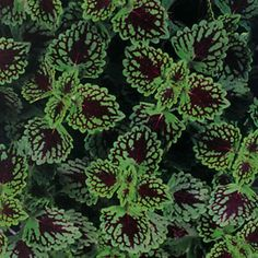 Proven Winners | Chocolate Drop - Coleus - Solenostemon scutellarioides