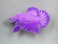 Purple Betta or siamese fighting fish Pretty Fish, Beautiful Fish, Aquascaping, Purple Rain, Bright Purple, Aquariums, Betta Fish Care, Beta Fish, Siamese Fighting Fish