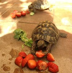 They DO love strawberries, broccoli, melons and their rinds. Tortoise Habitat, Turtle Habitat, Tortoise Care, Tortoise Turtle, Tortoise House, Tortoise Food, Pet Turtle, Turtle Love, Baby Turtles