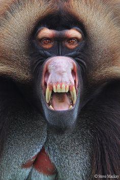 ˚War Face - Gelada Baboon  somebody's not happy...