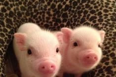 Scott used to raise pigs and we love piglets. Pigs Micro piglet miniature pig baby animals pets baby animal micro micropig pet family minipig small funny videos best piggie piggies Самые смешные фото и видео дикой природы Wildlife Photography Awards 2020 Cute Baby Pigs, Cute Piggies, Cute Babies, Teacup Piglets, Baby Piglets, Baby Teacup Pigs, Teacup Pigs Full Grown, Micro Piglets, Mini Pigs